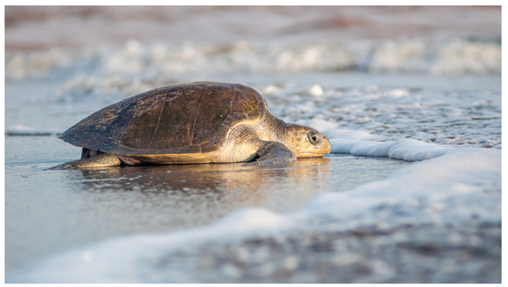 Experience of a Sea Turtle Release In Puerto Vallarta